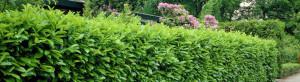 cropped-Prunus-laurocerasus-Rotundifolia_6005_1280_1280.jpg