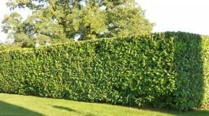 Cherry-Laurel-hedge-2-1024x568-300x166