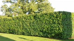 Cherry-Laurel-hedge-2-1024x568