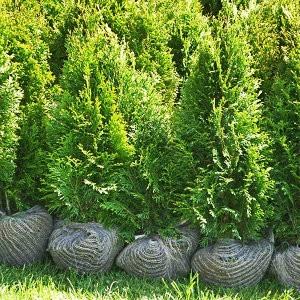 Ciprese Thuja Smaragd 60-80cm