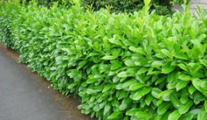 Laurel-Hedge_2_optimized