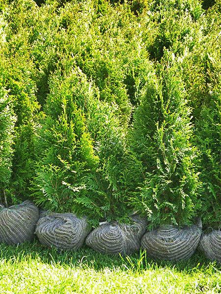 Thuja Smaragd (smaragdna cipresa)