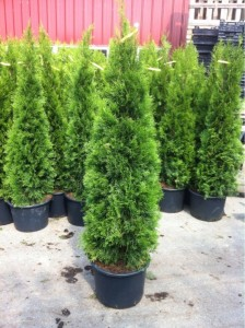 Thuja-Smaragd-120-140-Container-539x721