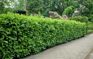 cropped-Prunus-laurocerasus-Rotundifolia_6005_1280_1280-1.jpg