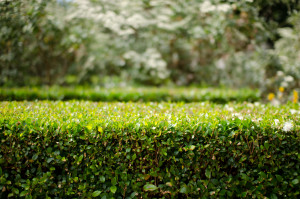 A neatly trimmed box hedge at the Adelaide Botanic Gardens.As a consequence of the current heat-wave (tomorrow's forecast is 46F/115F), I'm mostly mining my archives, at the moment.