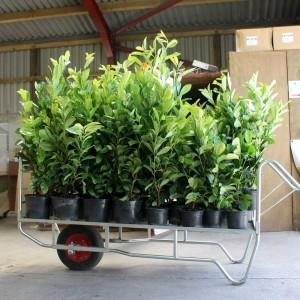 cherry-laurel-hedge-plants-p3-3292_image