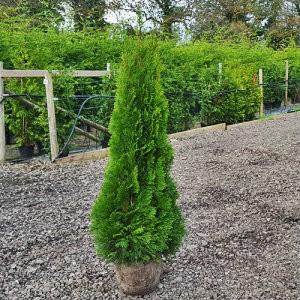 cipresa Thuja Smaragd 80-100 cm