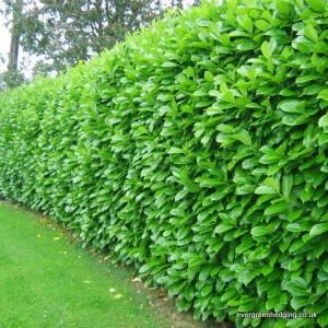 Laurel-hedge-02-2