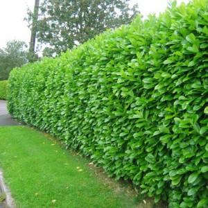 Laurel-hedge-11