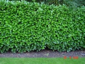 Laurel_hedge