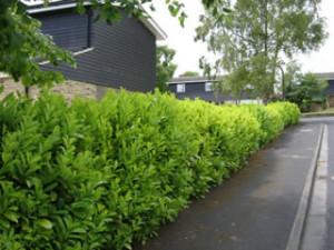 laurel_hedge2 (1)