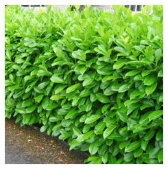 Laurel_hedge2
