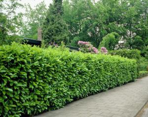 Prunus laurocerasus Rotundifolia - lovorikovec