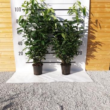 Lovorikovec Genolia, 90-120 cm